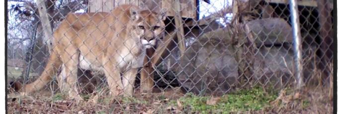 Nakobi cougar
